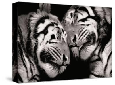 Sleeping Tigers-Marina Cano-Stretched Canvas Print