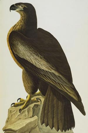 The Bird of Washington Bald Eagle (Haliaeetus Leucocephalus), Plate XI, from 'The Birds of America'-John James Audubon-Stretched Canvas Print