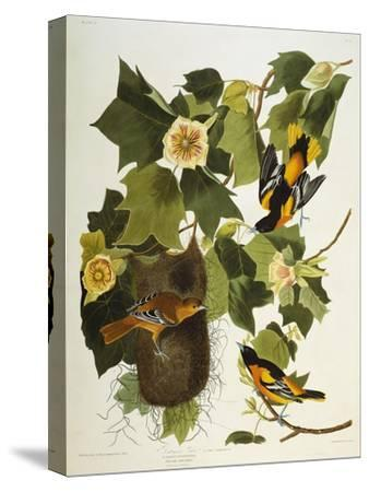 Baltimore Oriole. Northern Oriole (Icterus Galula), from 'The Birds of America'-John James Audubon-Stretched Canvas Print
