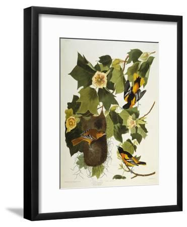 Baltimore Oriole. Northern Oriole (Icterus Galula), from 'The Birds of America'-John James Audubon-Framed Giclee Print