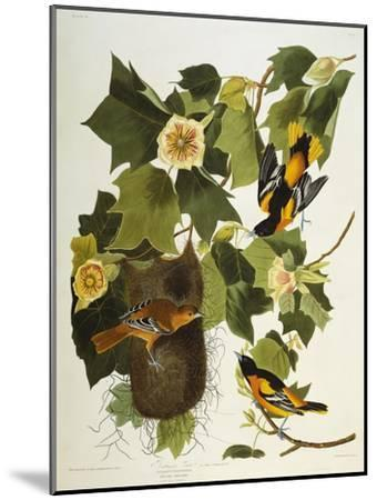 Baltimore Oriole. Northern Oriole (Icterus Galula), from 'The Birds of America'-John James Audubon-Mounted Giclee Print
