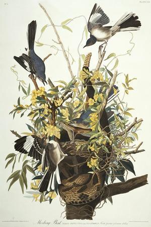 Mocking Bird. Northern Mockingbird (Mimus Polyglottos), Plate Xxi, from 'The Birds of America'-John James Audubon-Stretched Canvas Print