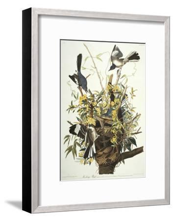 Mocking Bird. Northern Mockingbird (Mimus Polyglottos), Plate Xxi, from 'The Birds of America'-John James Audubon-Framed Giclee Print
