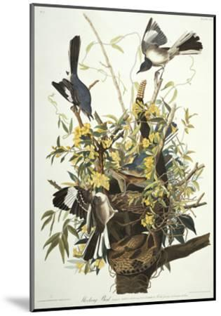 Mocking Bird. Northern Mockingbird (Mimus Polyglottos), Plate Xxi, from 'The Birds of America'-John James Audubon-Mounted Giclee Print