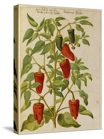 Indian Pepper. from 'Camerarius Florilegium'-Joachim Camerarius-Stretched Canvas Print