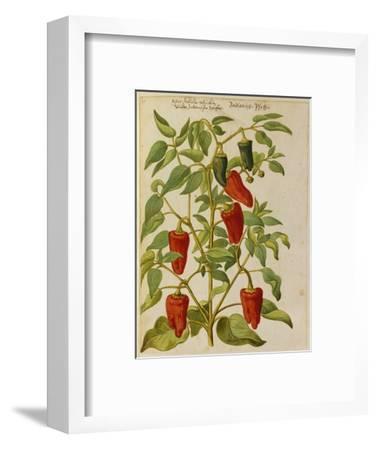 Indian Pepper. from 'Camerarius Florilegium'-Joachim Camerarius-Framed Premium Giclee Print