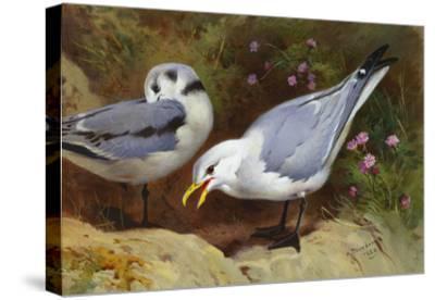 Kittywake Gulls-Archibald Thorburn-Stretched Canvas Print