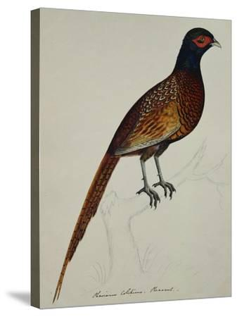 A Pheasant (Phasianus Colchicus)-Christopher Atkinson-Stretched Canvas Print