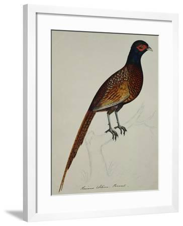 A Pheasant (Phasianus Colchicus)-Christopher Atkinson-Framed Giclee Print