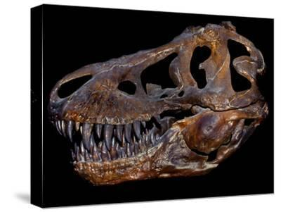 A Genuine Fossilized Skull of a T. Rex-Stocktrek Images-Stretched Canvas Print