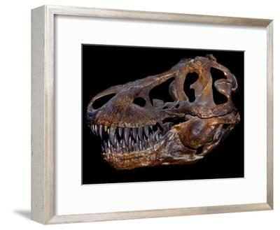 A Genuine Fossilized Skull of a T. Rex-Stocktrek Images-Framed Photographic Print