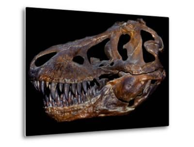 A Genuine Fossilized Skull of a T. Rex-Stocktrek Images-Metal Print