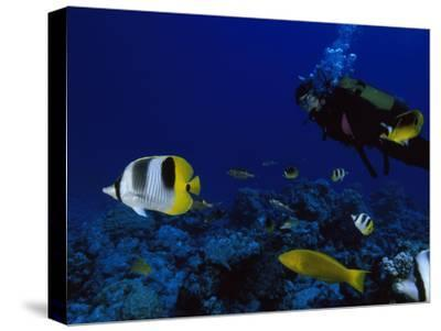 A Diver Swims with Butterfly Fish and Other Fish-Tim Laman-Stretched Canvas Print