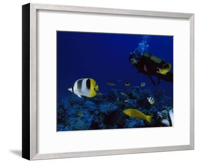 A Diver Swims with Butterfly Fish and Other Fish-Tim Laman-Framed Photographic Print