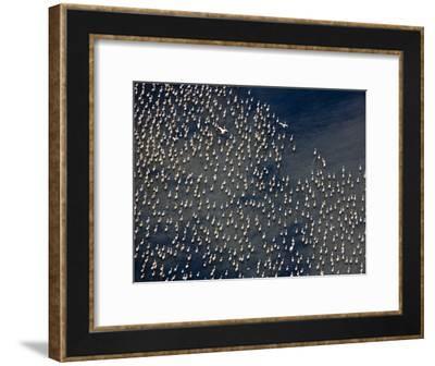 Flamingos on Lake Abijatta-Michael Poliza-Framed Photographic Print
