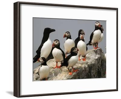 A Razorbill, Alca Torda, Sits Among a Group of Atlantic Puffins-Darlyne A^ Murawski-Framed Photographic Print