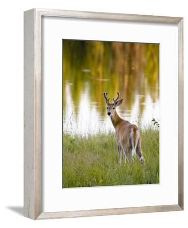 Male White-Tailed Deer Looking over His Shoulder-Roy Toft-Framed Photographic Print