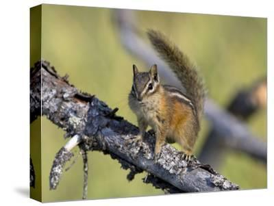 Portrait of a Least Chipmunk, Tamias Miniums, on a Tree Branch-Roy Toft-Stretched Canvas Print