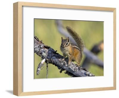 Portrait of a Least Chipmunk, Tamias Miniums, on a Tree Branch-Roy Toft-Framed Photographic Print