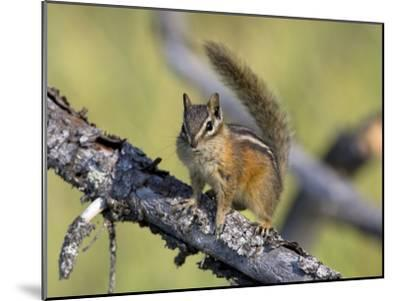 Portrait of a Least Chipmunk, Tamias Miniums, on a Tree Branch-Roy Toft-Mounted Photographic Print