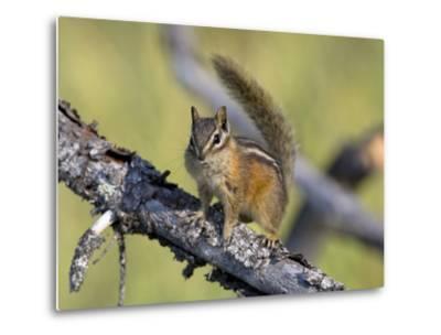 Portrait of a Least Chipmunk, Tamias Miniums, on a Tree Branch-Roy Toft-Metal Print