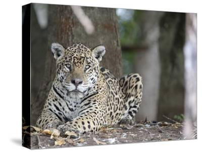 Portrait of an Endangered Jaguar, Panthera Onca, at Rest-Roy Toft-Stretched Canvas Print