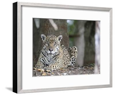 Portrait of an Endangered Jaguar, Panthera Onca, at Rest-Roy Toft-Framed Photographic Print