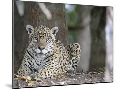 Portrait of an Endangered Jaguar, Panthera Onca, at Rest-Roy Toft-Mounted Photographic Print