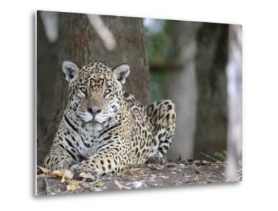Portrait of an Endangered Jaguar, Panthera Onca, at Rest-Roy Toft-Metal Print
