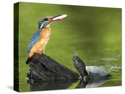 Adult Female Common Kingfisher with a Common Rudd and a Pond Turtle-Joe Petersburger-Stretched Canvas Print