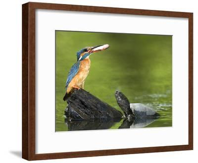 Adult Female Common Kingfisher with a Common Rudd and a Pond Turtle-Joe Petersburger-Framed Photographic Print