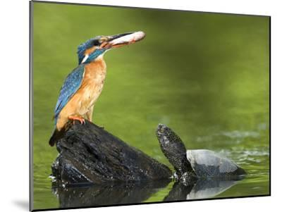 Adult Female Common Kingfisher with a Common Rudd and a Pond Turtle-Joe Petersburger-Mounted Photographic Print