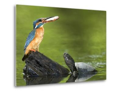 Adult Female Common Kingfisher with a Common Rudd and a Pond Turtle-Joe Petersburger-Metal Print
