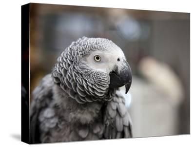 Portrait of an African Grey Parrot (Psittacus Erithacus)-Pete Ryan-Stretched Canvas Print