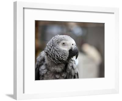 Portrait of an African Grey Parrot (Psittacus Erithacus)-Pete Ryan-Framed Photographic Print