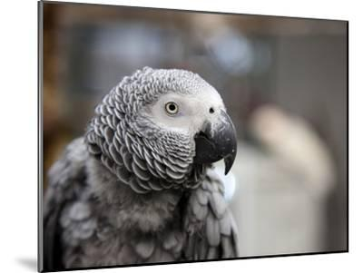 Portrait of an African Grey Parrot (Psittacus Erithacus)-Pete Ryan-Mounted Photographic Print