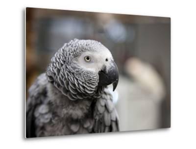 Portrait of an African Grey Parrot (Psittacus Erithacus)-Pete Ryan-Metal Print