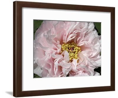 Close Up of a Pink Flower-Charles Kogod-Framed Photographic Print