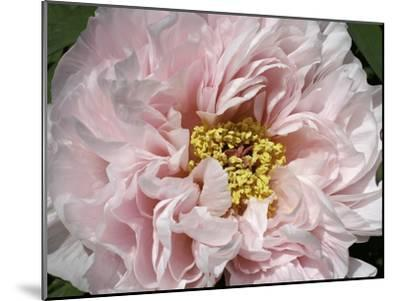 Close Up of a Pink Flower-Charles Kogod-Mounted Photographic Print