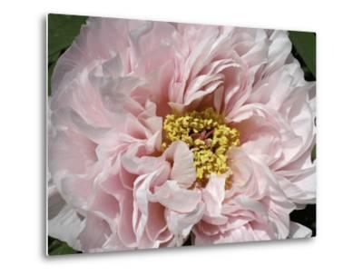 Close Up of a Pink Flower-Charles Kogod-Metal Print