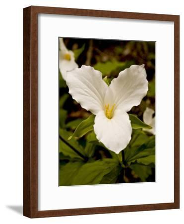 The Trillium Flower, the Official Flower of the Province of Ontario-Kenneth Ginn-Framed Photographic Print
