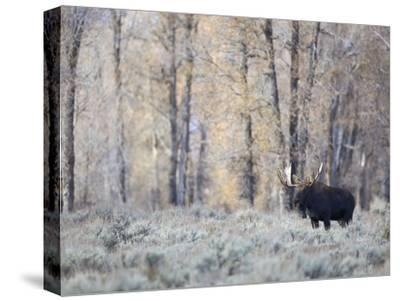 A Bull Moose on an Early Fall Morning in Grand Teton National Park-Drew Rush-Stretched Canvas Print