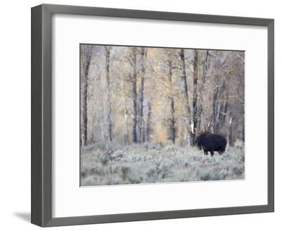 A Bull Moose on an Early Fall Morning in Grand Teton National Park-Drew Rush-Framed Photographic Print