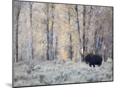 A Bull Moose on an Early Fall Morning in Grand Teton National Park-Drew Rush-Mounted Photographic Print