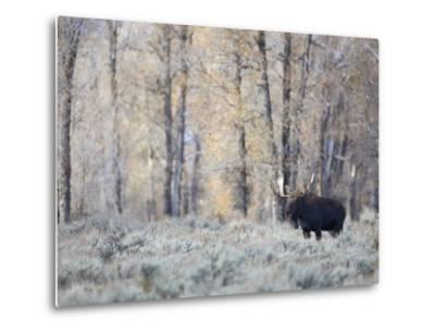 A Bull Moose on an Early Fall Morning in Grand Teton National Park-Drew Rush-Metal Print