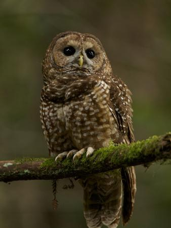 A Threatened Northern Spotted Owl in a Redwood Forest-Michael Nichols-Framed Photographic Print