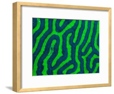 A Tiny Translucent Fish Hides on Brightly Colored Coral-Ben Horton-Framed Photographic Print