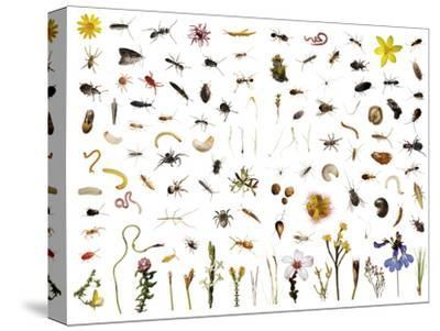 Mountain fynbos species collected within a one cubic foot metal cube.-David Liittschwager-Stretched Canvas Print