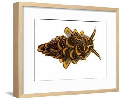 A Sacoglossan Sea Slug Collected from a Sample of Coral Reef-David Liittschwager-Framed Photographic Print