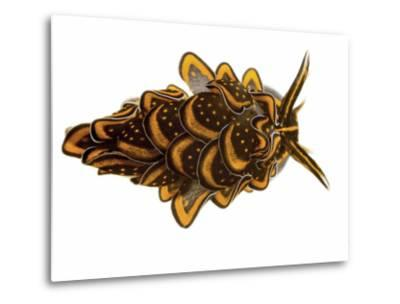 A Sacoglossan Sea Slug Collected from a Sample of Coral Reef-David Liittschwager-Metal Print